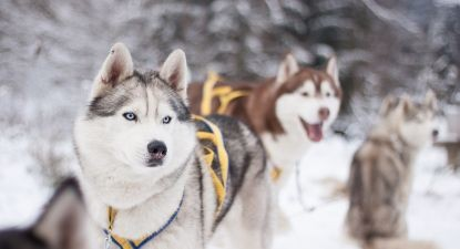 Balade en chien de traîneau dans le Jura